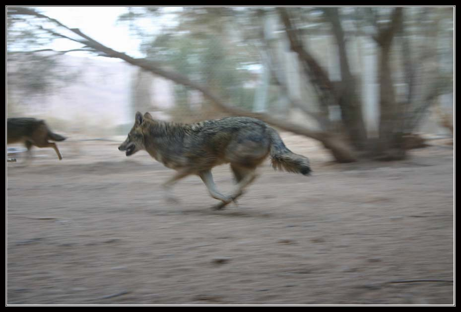 волк  в заповеднике Хай Бар Йотвата